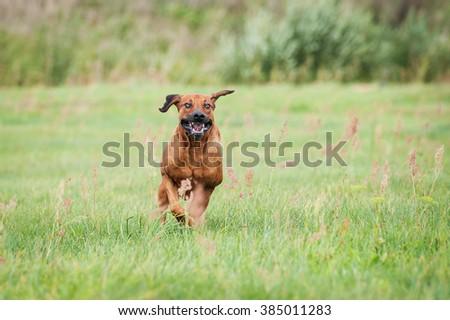 Happy rhodesian ridgeback dog running on the field in summer - stock photo