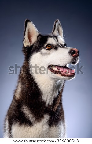 Happy siberian husky on grey background, studio - stock photo