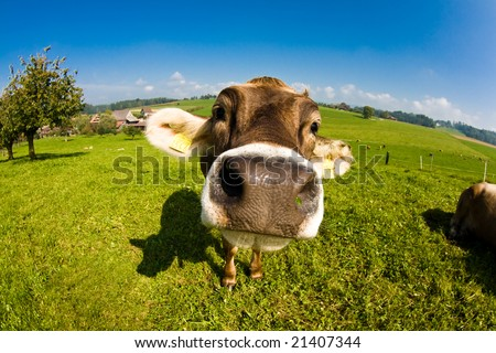 Happy swiss cow, funny fisheye nose shot - stock photo