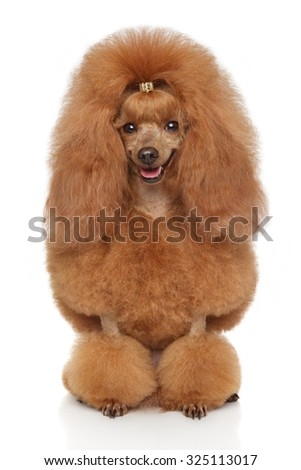 Happy Toy poodle sits in front of white background - stock photo