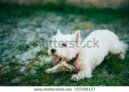 Happy West Highland White Terrier - Westie, Westy Dog Portrait - stock photo