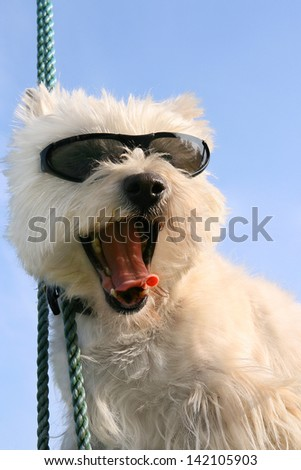 Happy Westie dog with sunglasses - stock photo
