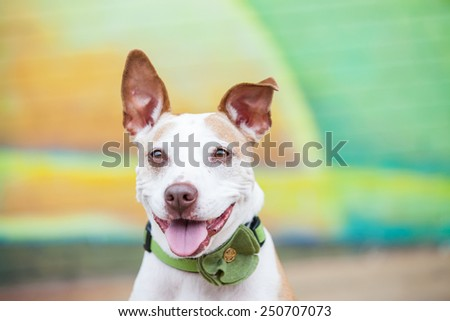 Happy white pit bull dog smiles outside in front of a green and yellow painted wall mural  - stock photo