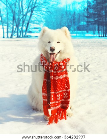 Happy white Samoyed dog with red scarf on snow in winter day - stock photo