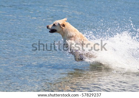 Happy yellow Lab jumping into the ocean water to retrieve a stick on a beautiful sunny day at a beach. - stock photo