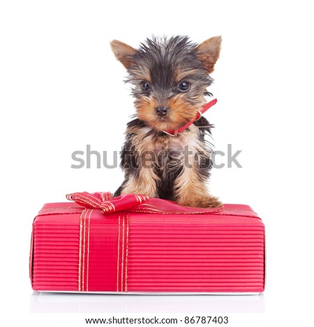 happy yorkie toy standing on a gift over white background - stock photo