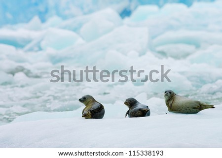 Harbor Seals lay on Floating Ice in South East Alaska - stock photo