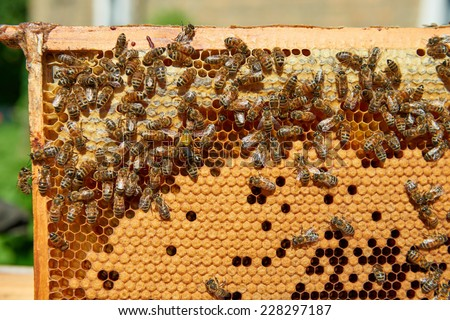 Hardworking bees on honeycomb and one wasp - stock photo