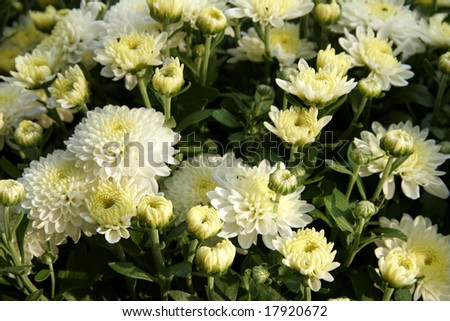 Hardy fall garden mum blooms late summer to fall - stock photo