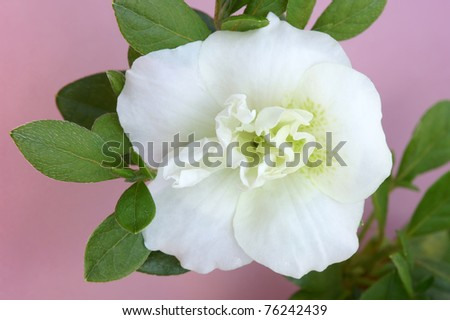 Hardy Gardenia Azalea Macro Horizontal - stock photo