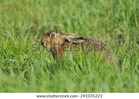 Hare in a meadow, when foraging. - stock photo