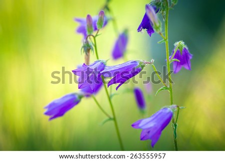 Harebells (Campanula) wild flowers on summer meadow - stock photo