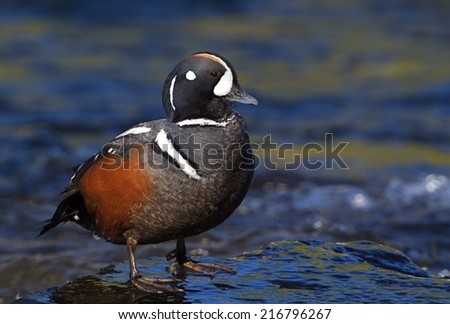 Harlequin Duck standing in the shallows of LeHardy Rapids in the Yellowstone River, in the Hayden Valley of Yellowstone National Park these sea ducks travel inland each spring to breed and nest - stock photo