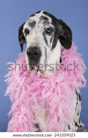 harlequin female Great Dane sitting head shot isolated on blue background. One eye of each color, blue and brown - stock photo