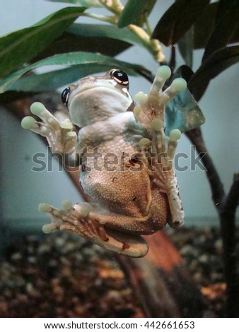 harlequin frog (Phrynohyas resinifictrix)  - stock photo