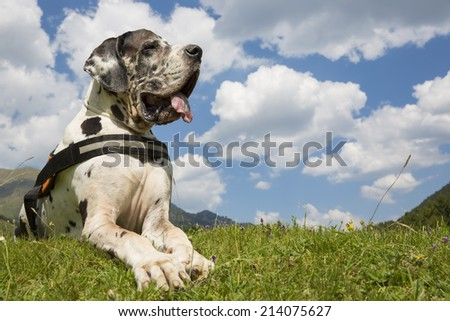 harlequin great dane lying on the field, and summer freedom - stock photo