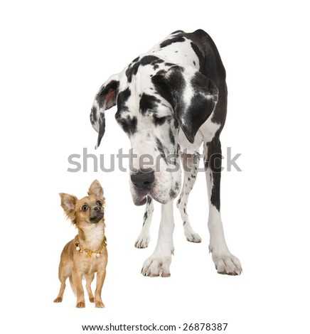 harlequin Great Dane (4 years)  looking down at a small chihuahua (18 months) in front of a white background - stock photo