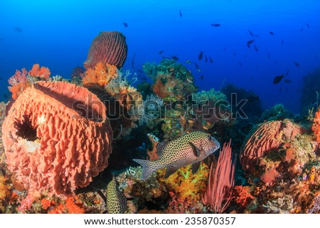 Harlequin Sweetlips swimming amongst colorful corals and sponges - stock photo