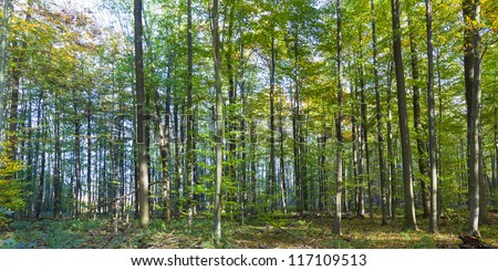 harmonic pattern of trees in the oak forest - stock photo