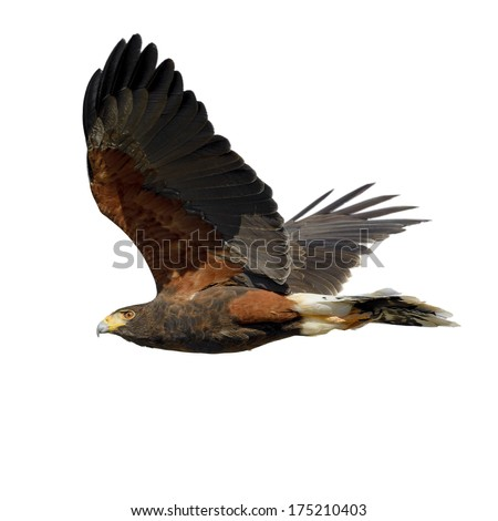 Harris Hawk flying. Isolated on white. - stock photo