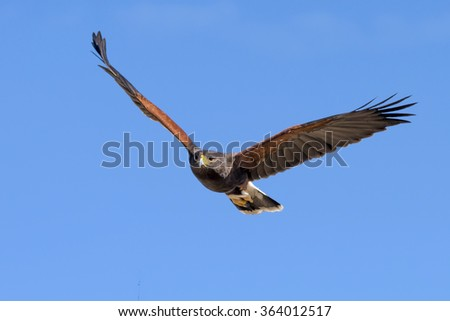 Harris Hawk in fright against clear sky. - stock photo