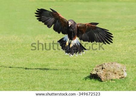 Harris Hawk landing. A majestic Harris Hawk prepares to land in a grassy area. - stock photo
