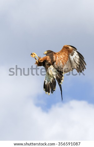 Harris Hawk making a mid-air grab. A majestic Harris hawk appears to stop in the sky as it grabs something in flight. - stock photo