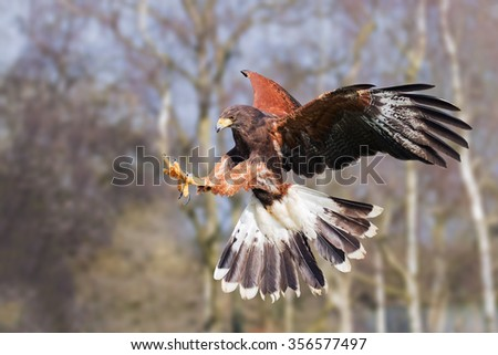 Harris Hawk on the attack. A determined Harris hawk extends its talons as it prepares to make a grab. - stock photo