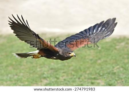 Harris hawk (Parabuteo unicinctus) in flight with green grass in the background - stock photo