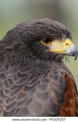 Harris Hawk (Parabuteo unicinctus) - portrait. Bay-winged Hawk, Dusky Hawk. - stock photo