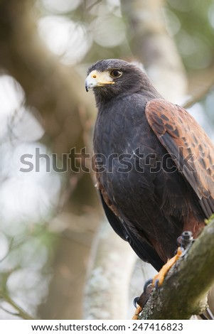 Harris hawk portrait - a common hawk in falconry - stock photo