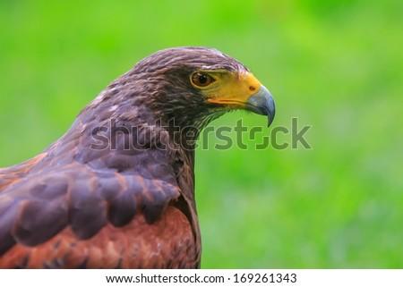 Harris hawk portrait close up - stock photo