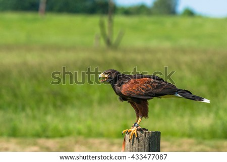 Harris hawk sitting on a wooden pole in a countryside landscape - stock photo