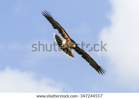 Harris Hawk wheeling in the sky. A magnificent Harris Hawk spreads its wings wide as it turns in a blue sky. - stock photo