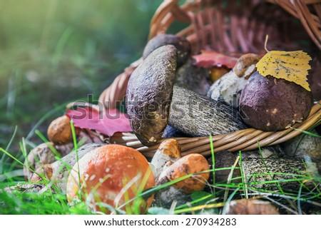 harvest brown cap boletus in a basket. Focus on the big mushroom cap boletus - stock photo