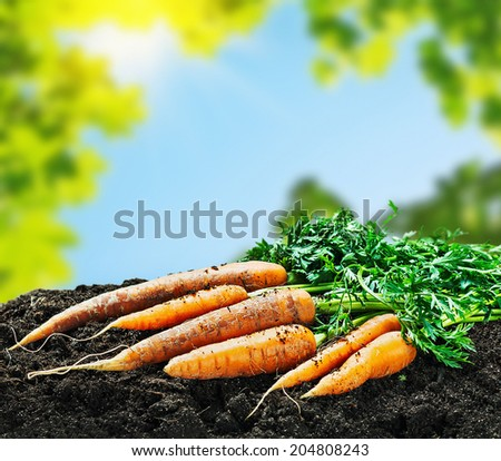 Harvest carrots on the ground on a background of the summer sun - stock photo