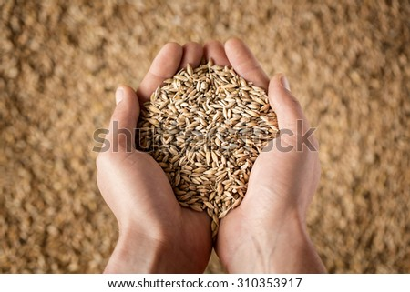 Harvest, close up of farmer's hands holding wheat grains - stock photo