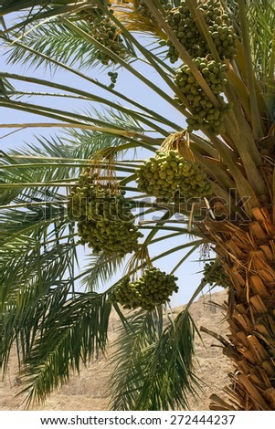 harvest dates on the palm, plantation of date palms at Kibbutz Ein Gedi, Dead Sea area, Israel - stock photo