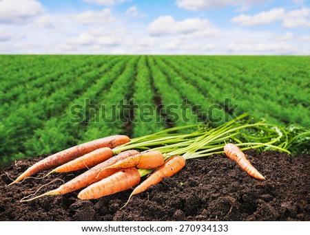 Harvest fresh carrots on the ground in the soil - stock photo