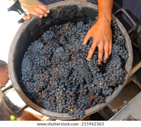 Harvest in the vineyards of Bordeaux, France - stock photo