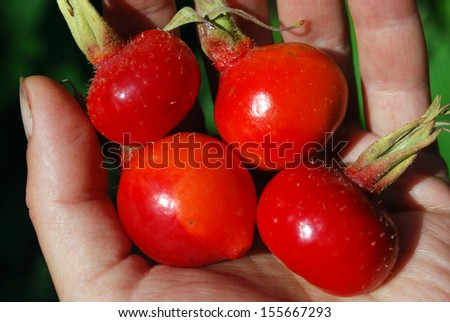 Harvest is ripe berries in the palm of a dogrose  - stock photo