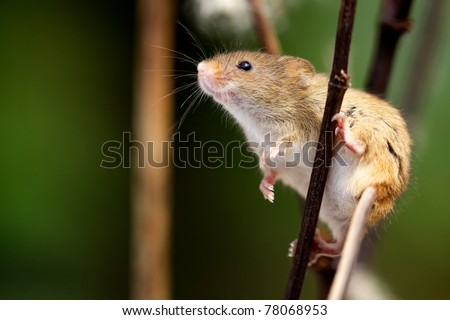 Harvest Mouse - stock photo