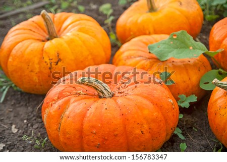 Harvest of autumn orange pumpkins - stock photo