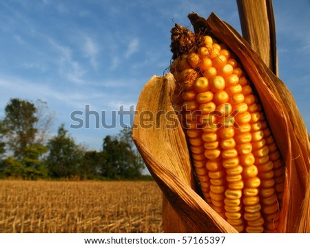 Harvest Season Corn - stock photo