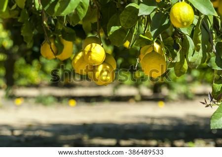 Harvest time - ripe lemons in a lemon garden. Stock photo. - stock photo