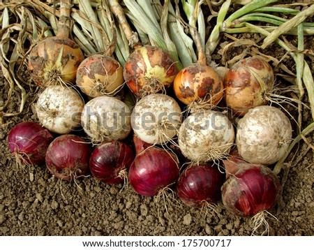 harvested home grown onion bulbs different varieties                                  - stock photo