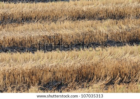 Harvested paddy field - stock photo