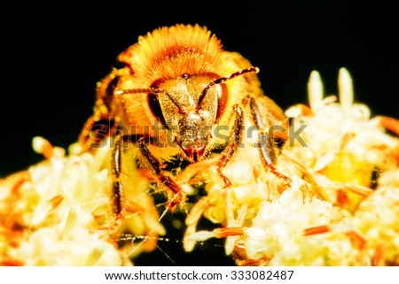 Harvester Bee Collecting Pollen 2 1 Life Size Macro Focus On Absorbing Needle - stock photo