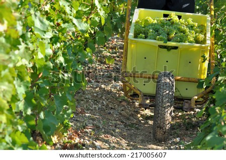harvester carrying a box full of grapes with a wheelbarrow - stock photo