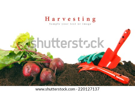 Harvesting. A beet and the garden tool on the earth. - stock photo